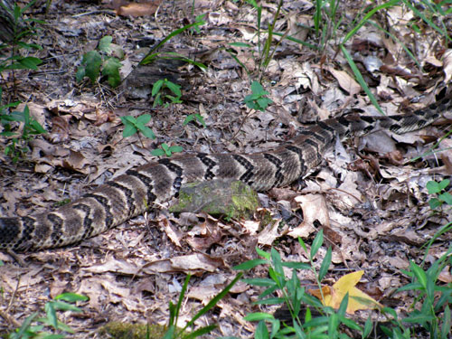 In late summer, we often experience surprise visits of timber rattlers. Since we live in an oak/hickory forest this is not surprising. They usually move on within a few days to a week.