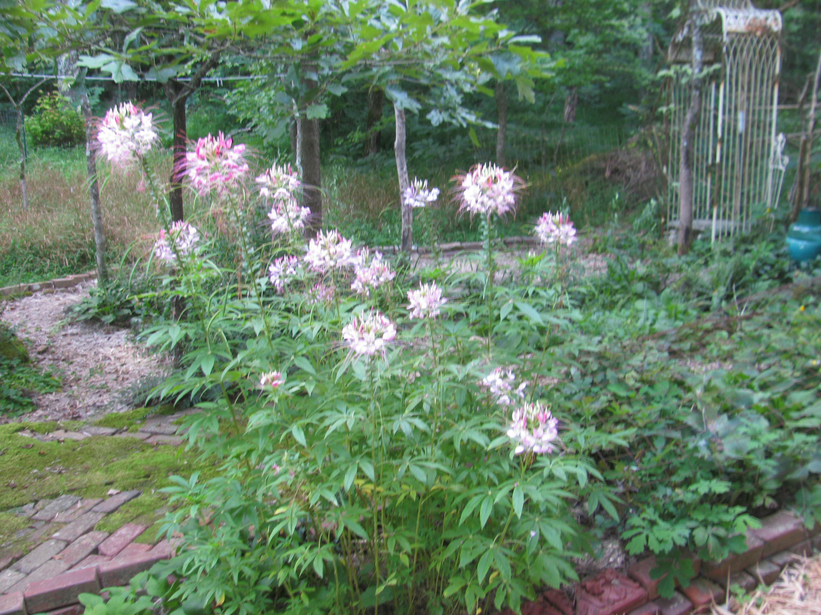 Cleome plants love it hot and dry. These plants volunteered outside the 4' x 9' window on the south side of our house.